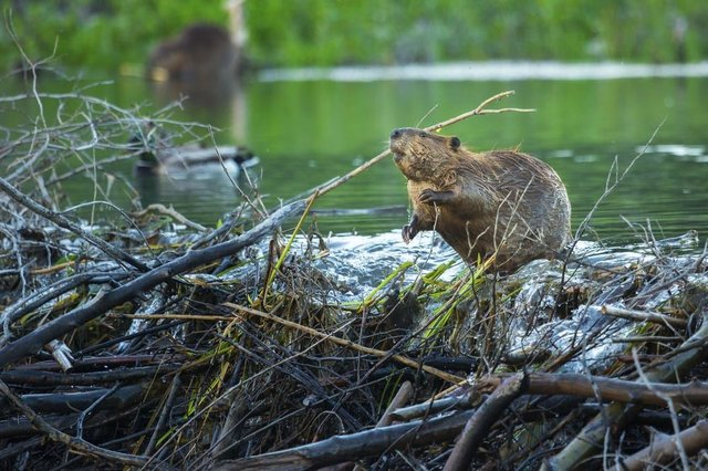 "Fifteen families of beavers have been allowed to stay permanently on River Otter in Devon after the government granted them the legal ""right to remain"" (Photo: Shutterstock)"
