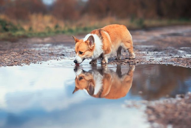 Vets and pet healthcare experts have urged dog owners to keep their pets away from flood waters, puddles, sewage and some lakes, due to them harbouring certain bugs which can cause severe illnesses (Photo: Shutterstock)