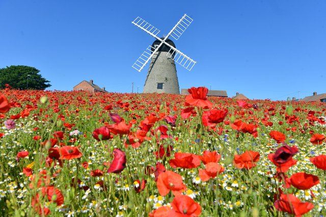 High temperatures for the poppies at Whitburn windmill