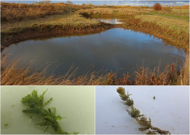The rare plant, bearded stonewort, and the pool where it was found. Credit: Martin Hammond