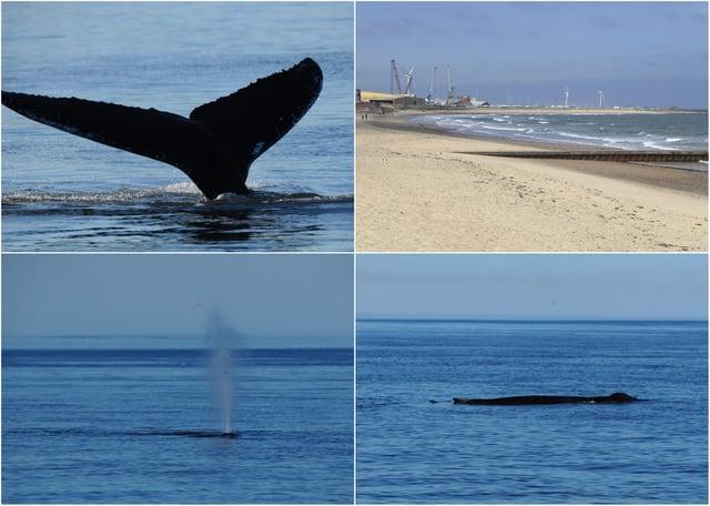 A humpback whale off the Northumberland coast.